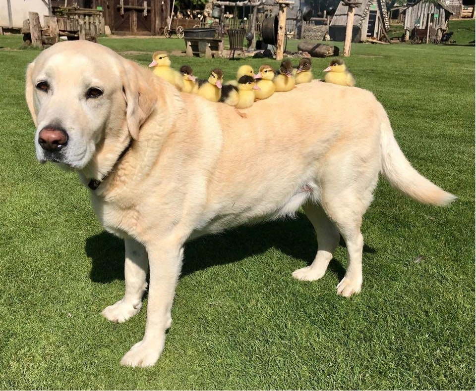 Fred The Labrador Has His Ducks In A Row Dogtime