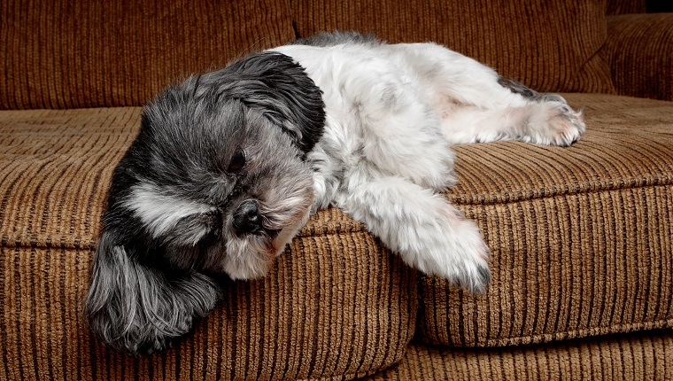 An exhausted, little Shih Tzu takes a nap on the couch.