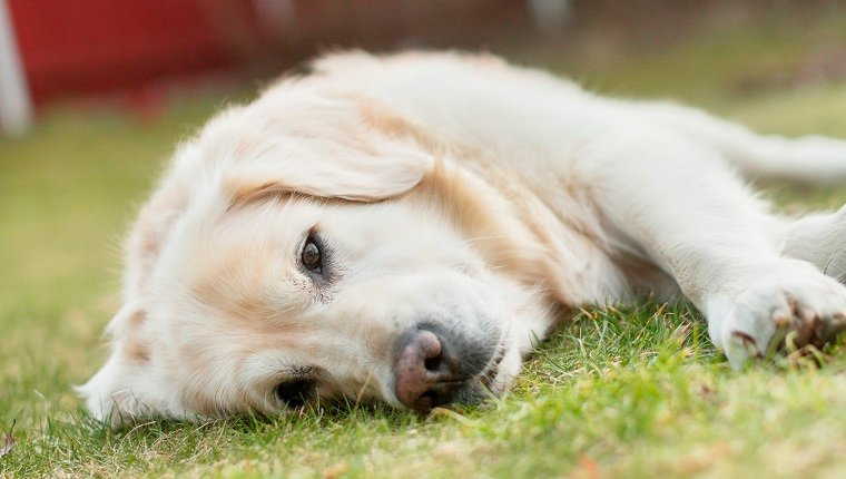 Portrait of white Labrador lying on grass