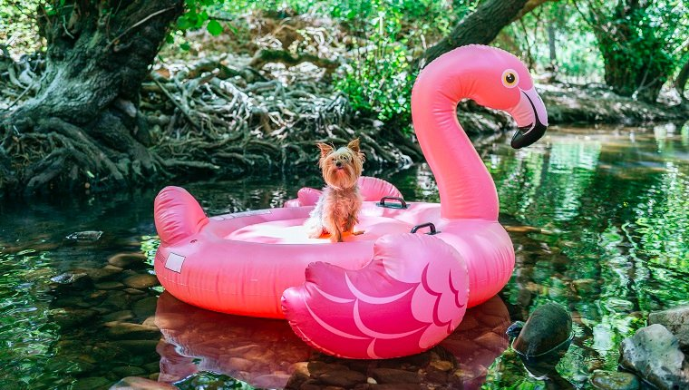 Yorkshire terrier floating on water on an inflatable flamingo