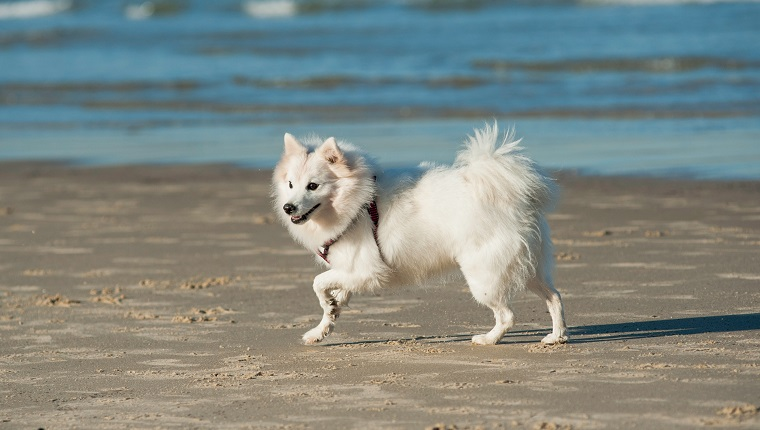 Japanese Spitz Dog Breed Information & Pictures – Dogtime