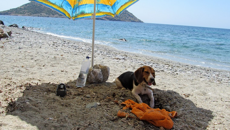 cheerful female beagle on the beach, digging the sand under her umbrella