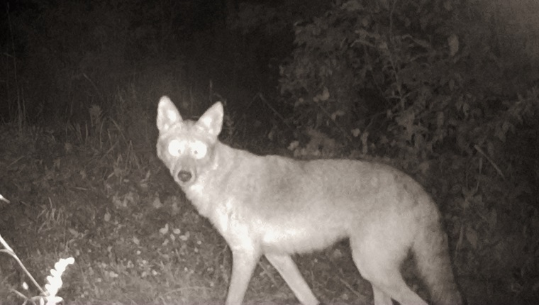 A night-vision camera snapped a photo of a Coyote in the woods. Photographed in Pembroke, Ontario, Canada.