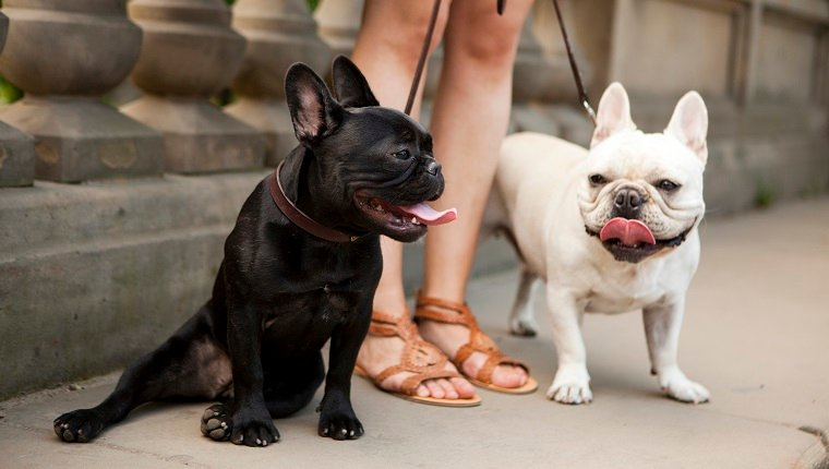 Usa, New York State, New York City, Portrait of two French Bulldogs