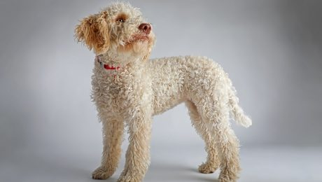 a025acd15bd Lagotto Romagnolo Dog Breed Information   Pictures – Dogtime