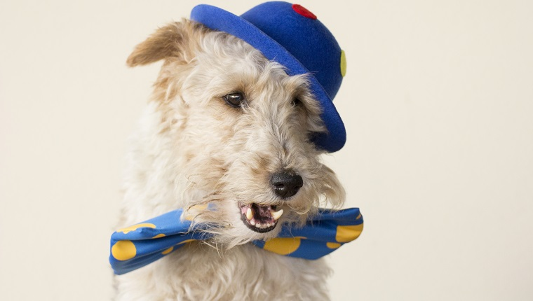 A fox terrier is dressed up like a clown and he's got the mouth open.
