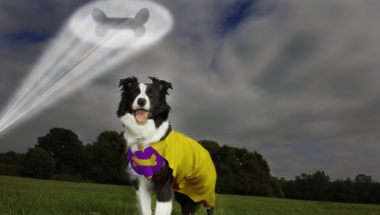 Image number: 392 Model Release: / Property Release for dog: Guardian & Owner of Dog: Najia Maddock Freddy the sheepdog. Release on file. Release corresponds to MR 165 Date photographed: August 2008 Low angle of a Sheepdog dressed as a superdog, with a spotlight in the shape of a bone projected overhead.