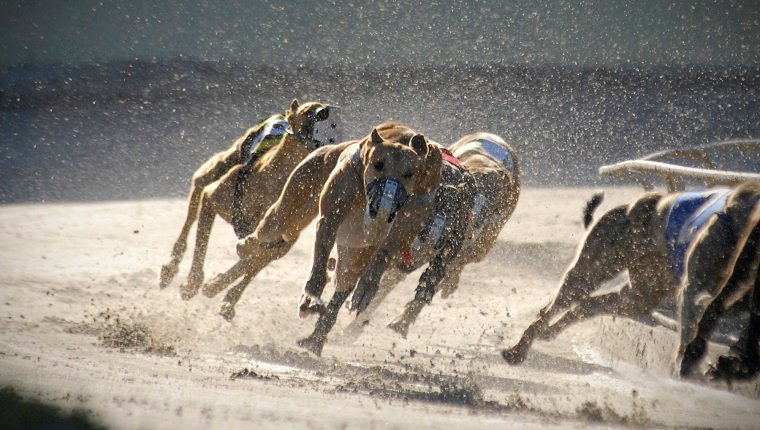 Greyhounds racing: 4 of 7.