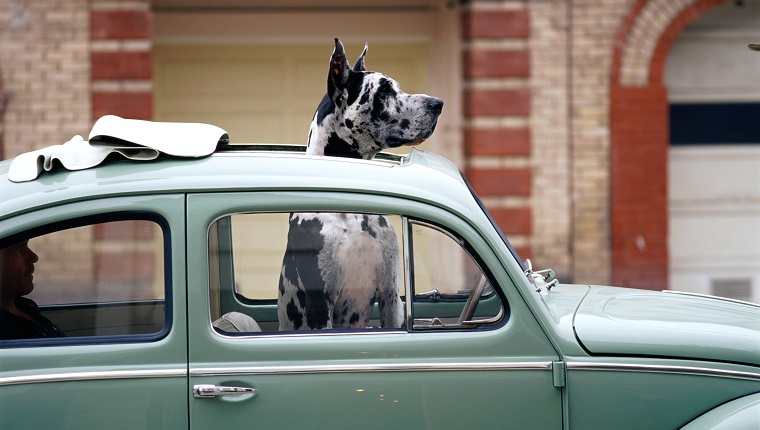 GREAT DANE WITH HEAD OUT OF SUNROOF