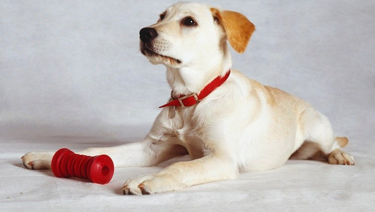 Golden Labrador puppy lying down, wearing red collar and tag, red teeth-cleaning toy between his front legs, head raised, alert expression, angled side view.