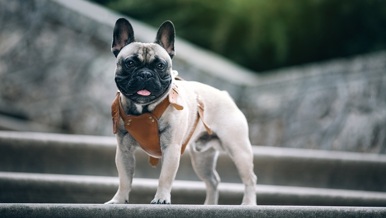 French bulldog at vintage stairs