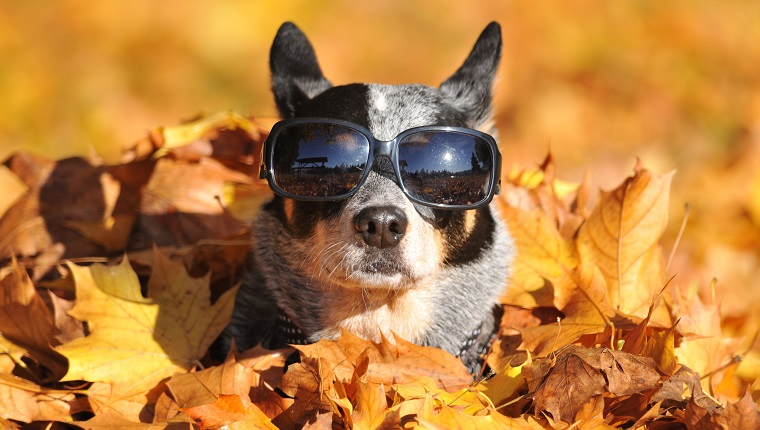 Dog in maple leaves.