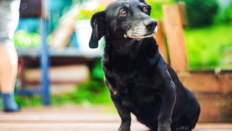 Portrait of an old tired black-haired dachshund dog in the backyard. Domestic dog with a gray muzzle