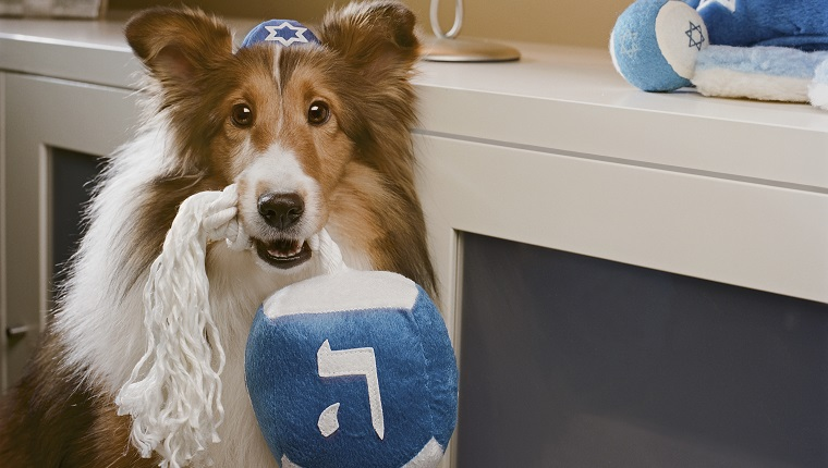 Shetland Sheepdog wearing yamulka holding with Hebrew on it by Menorah