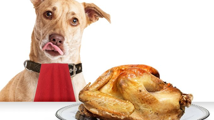 dog waiting by turkey dinner