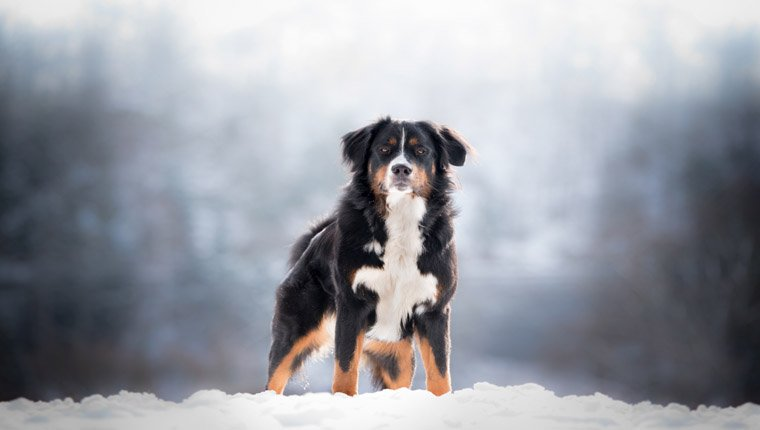 bernese mountain dog on show