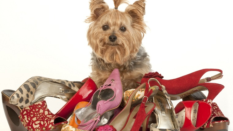 Yorkshire Terrier with Stilettos on white background. you can donate shoes to help dogs.