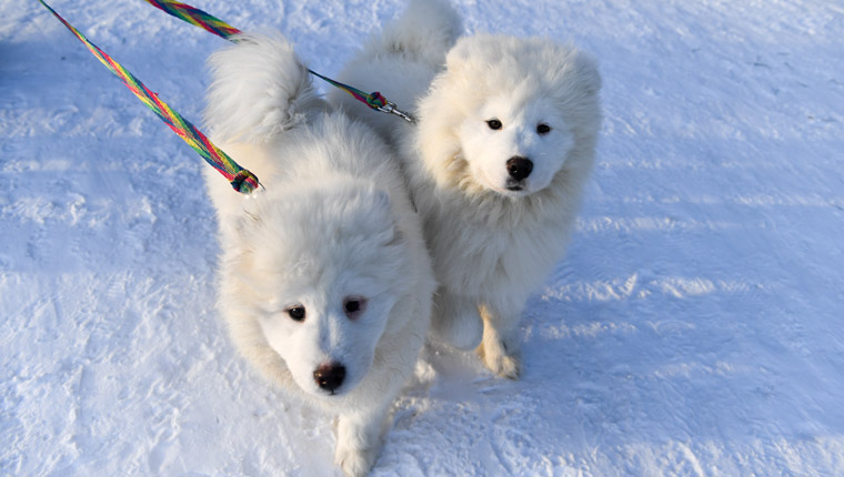 spitz dogs walk in snow