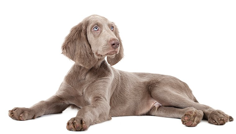 Weimaraner puppy isolated on white. Three months old.