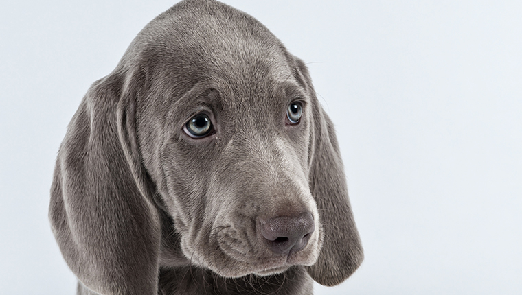 Sad but cute Weimaraner puppy face