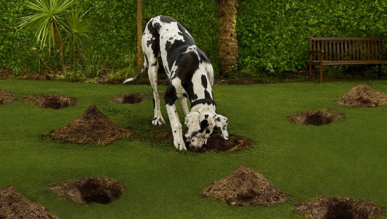 Dog digging in the garden searching