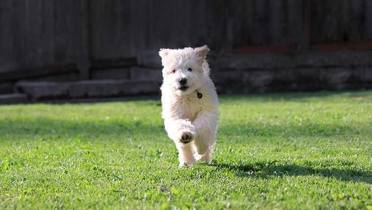 Goldendoodle Puppy Running In Grass