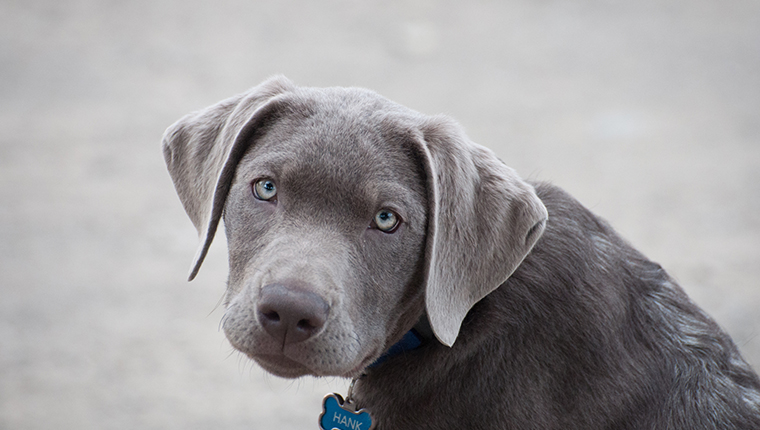 Portrait of Silver Labrador Retriever blue-eyed puppy looking at camera