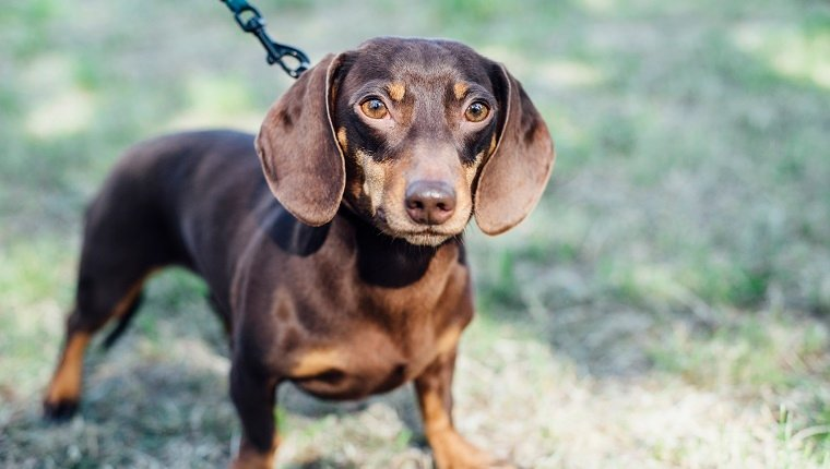 Dachshund dog on leash outdoors looking at camera