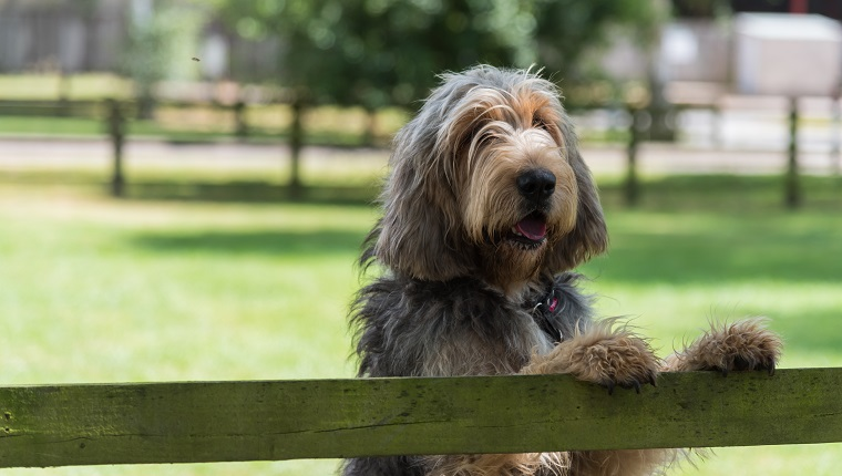 Otterhound standing with paws on top of a fence looking out