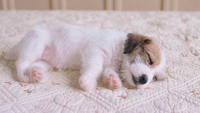 Jack Russell Puppy Sleeping on Bed