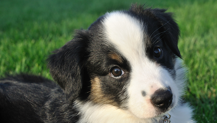 Tricolor Australian Shepherd (Aussie) Puppy Outside on Grass
