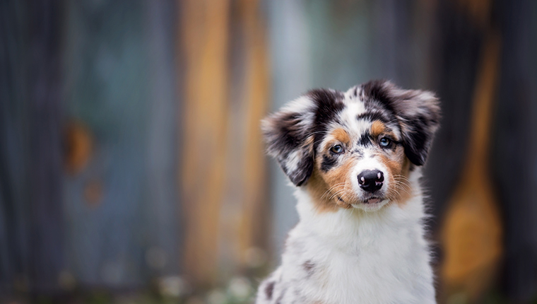 Adorable Australian Shepherd puppy sitting in front of a colorful wood wall.