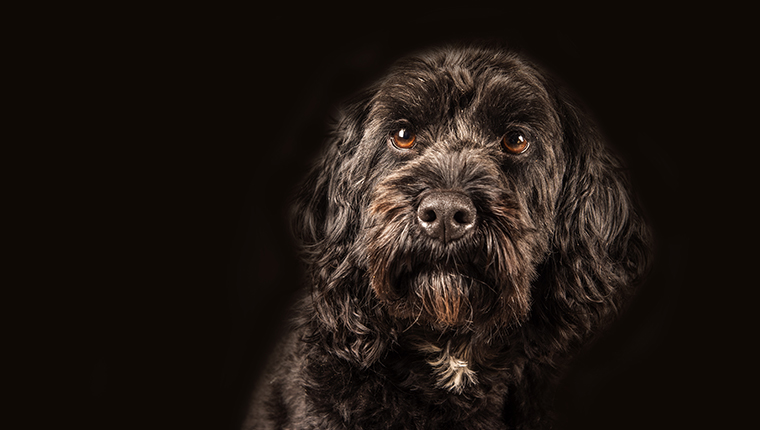 Portrait of beautiful Cockapoo dog on black background