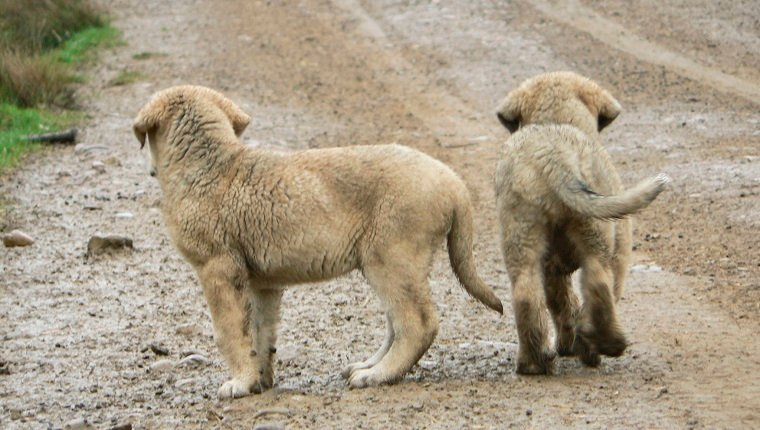Rear view of two small Spanish mastiffs abandoned on a dirt road in León, Spain.