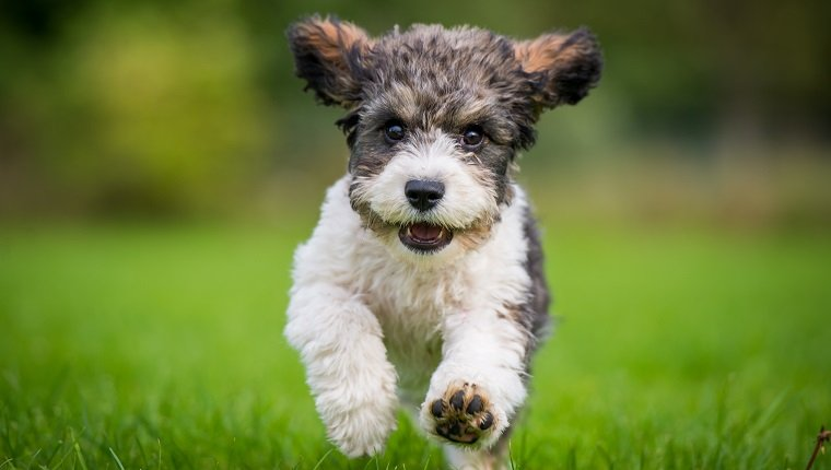 Cavachon Mixed Dog Breed Pictures, Characteristics, & Facts