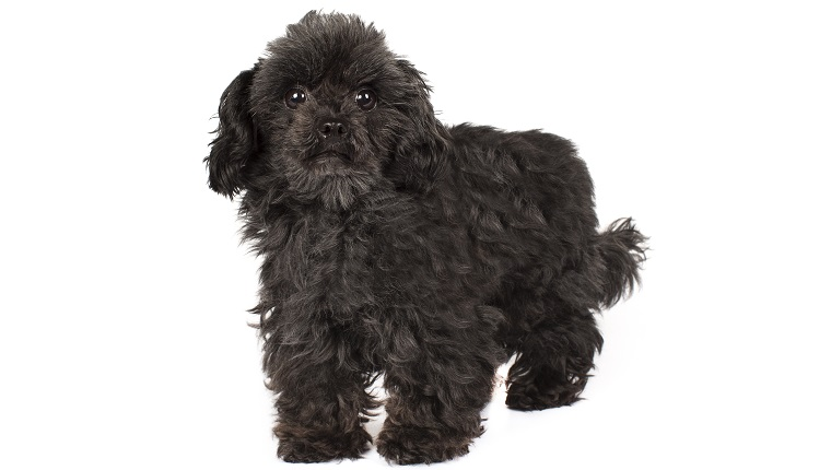 Chi Poo Mixed Dog Breed Pictures Characteristics Facts