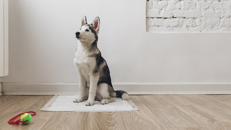 Portrait of adorable Siberian Husky puppy sitting on diaper.