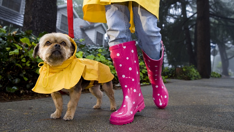 Girl in pink poke a dotted rain boats and yellow rain jacked is walking her dog that is wearing a yellow rain coat.