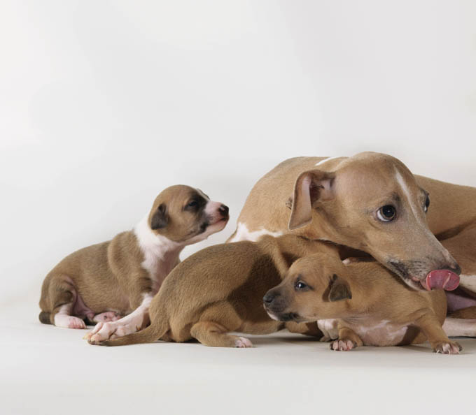 A female dog carries her puppies for about 60 days before they are born.