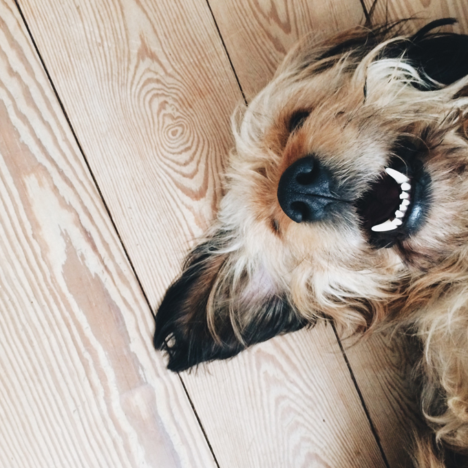 Dogs have twice as many ear muscles as people.