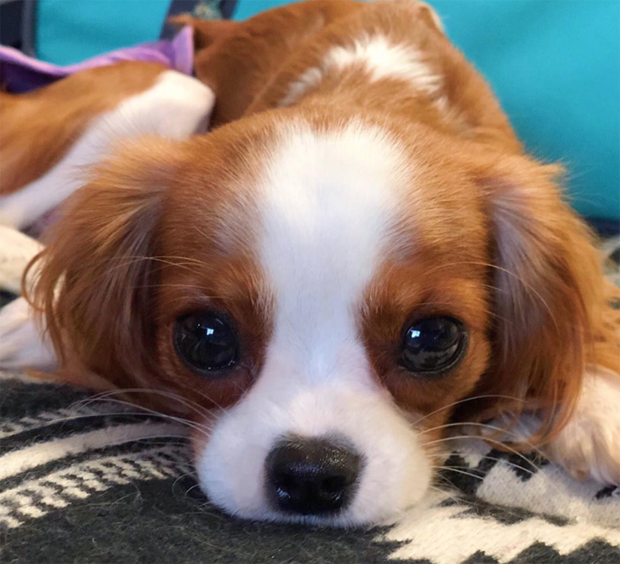 30 Best Names For A Cavalier King Charles Spaniel [PICTURES