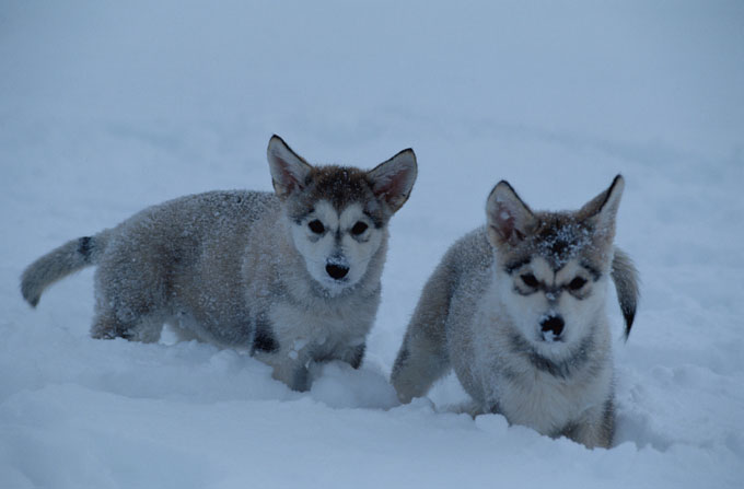 Alaskan Malamute Dogs And Puppies
