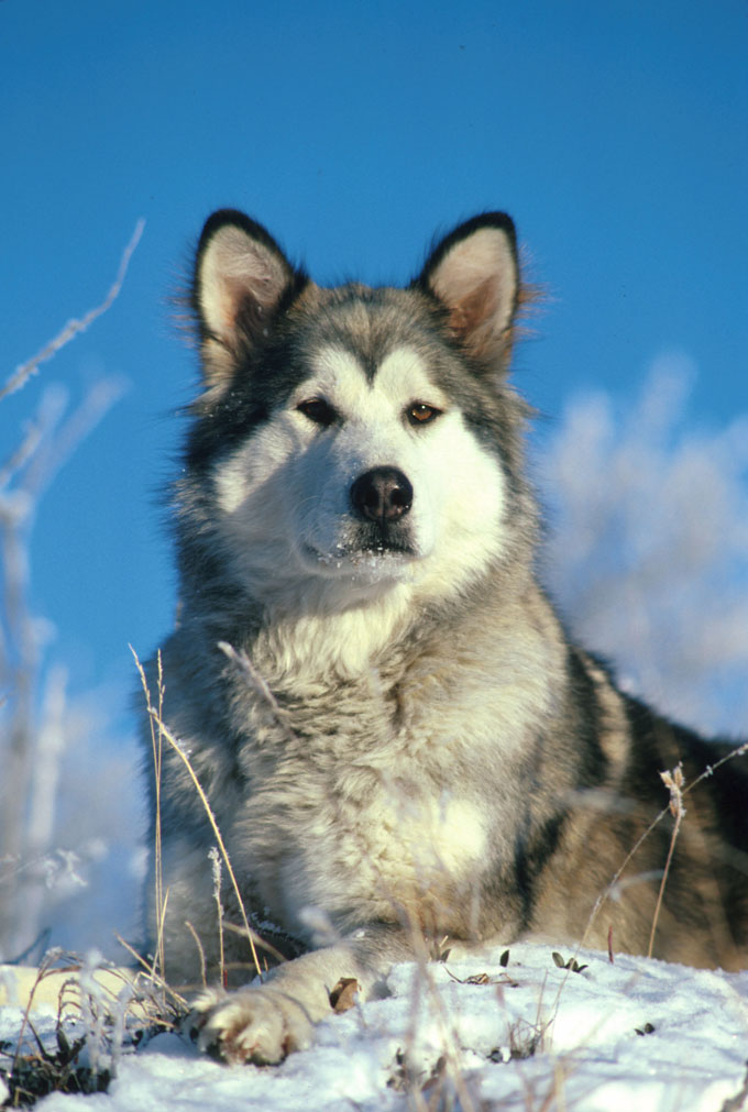 Alaskan Malamute Dog Breed Information Pictures Characteristics