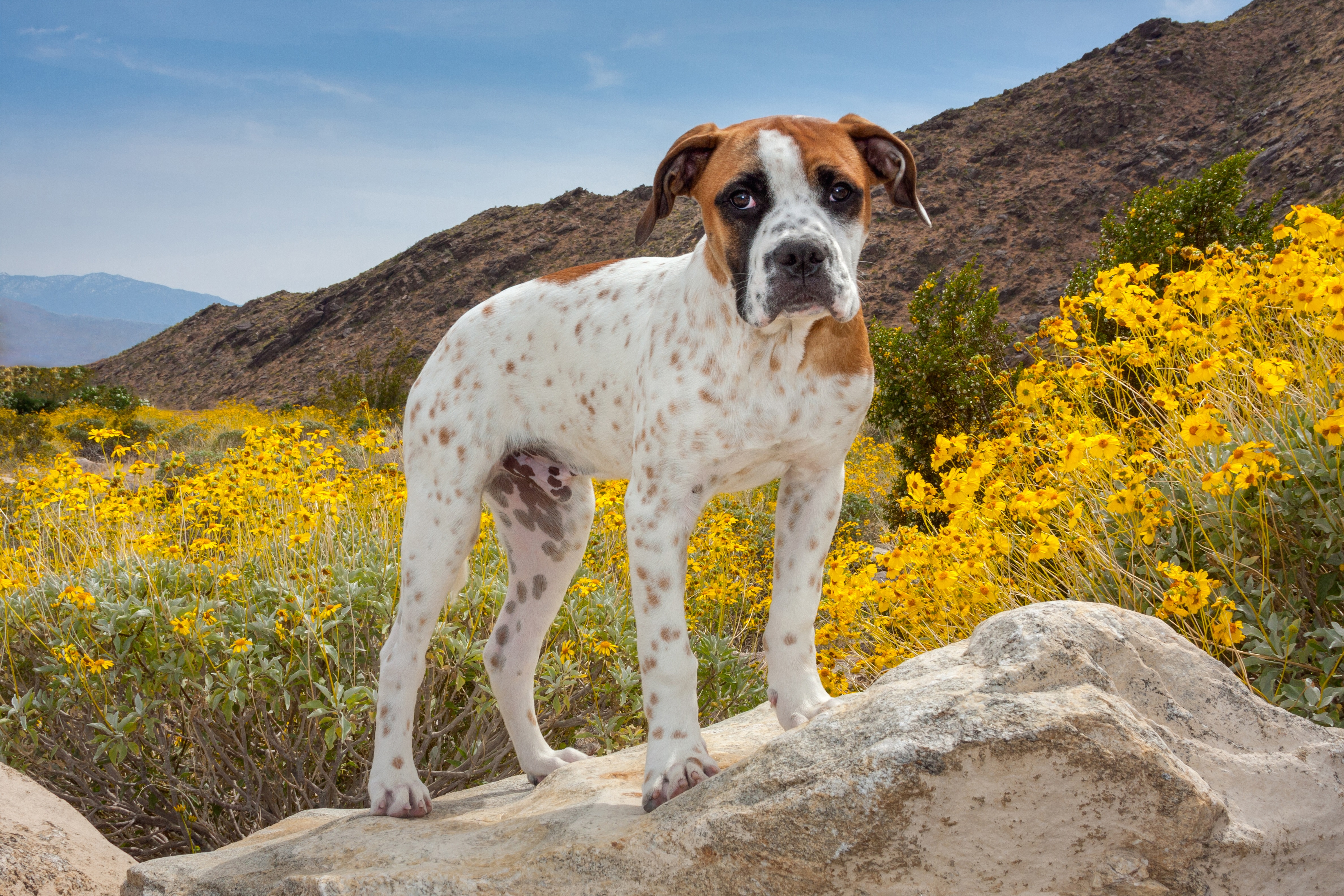 American Bulldog Breed Information & Pictures – Dogtime