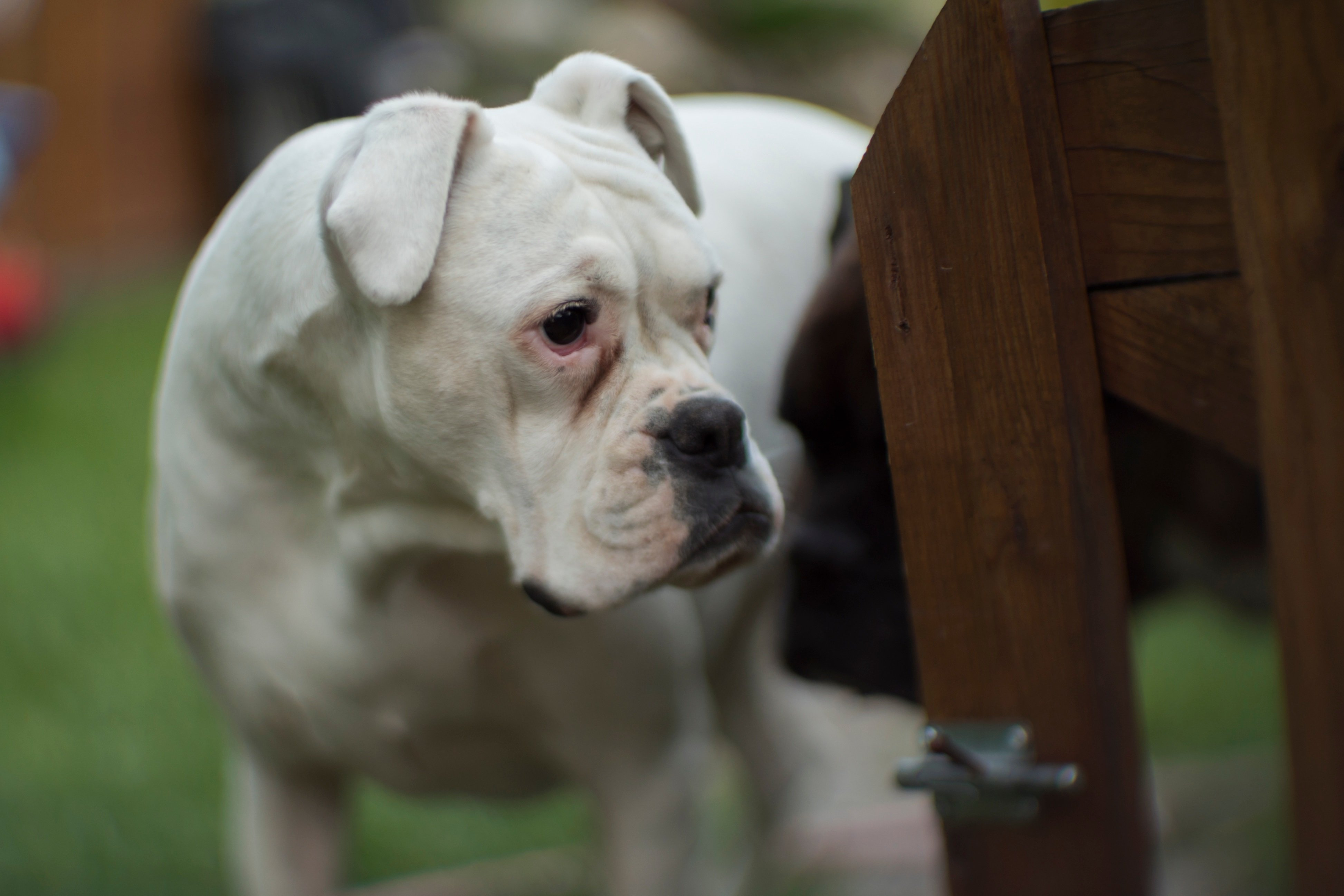 American Bulldog Breed Information Pictures Dogtime