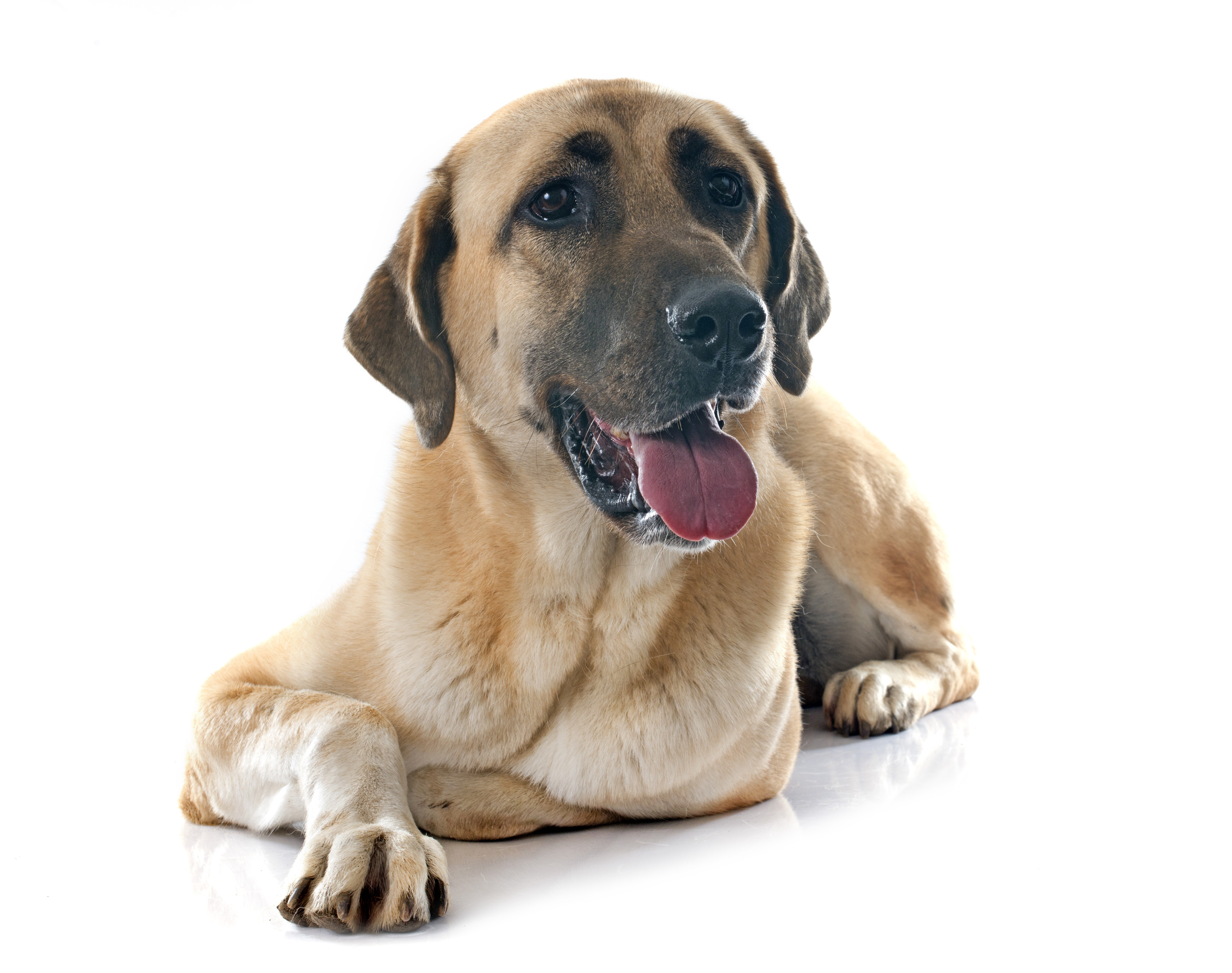 Anatolian Shepherd Dog Breed Information Pictures Characteristics