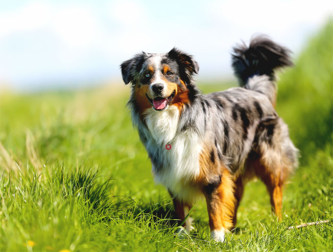 Australian Shepherd Dog Breed Information Pictures
