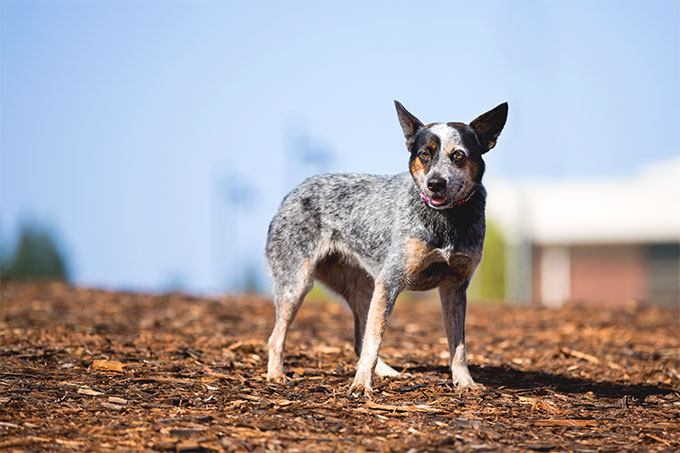 What are the traits of a blue heeler/lab mix?