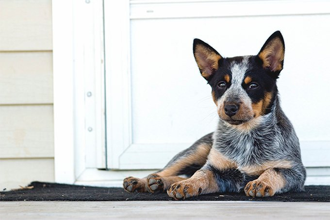 Australian Cattle Dog Breed Information Pictures Characteristics