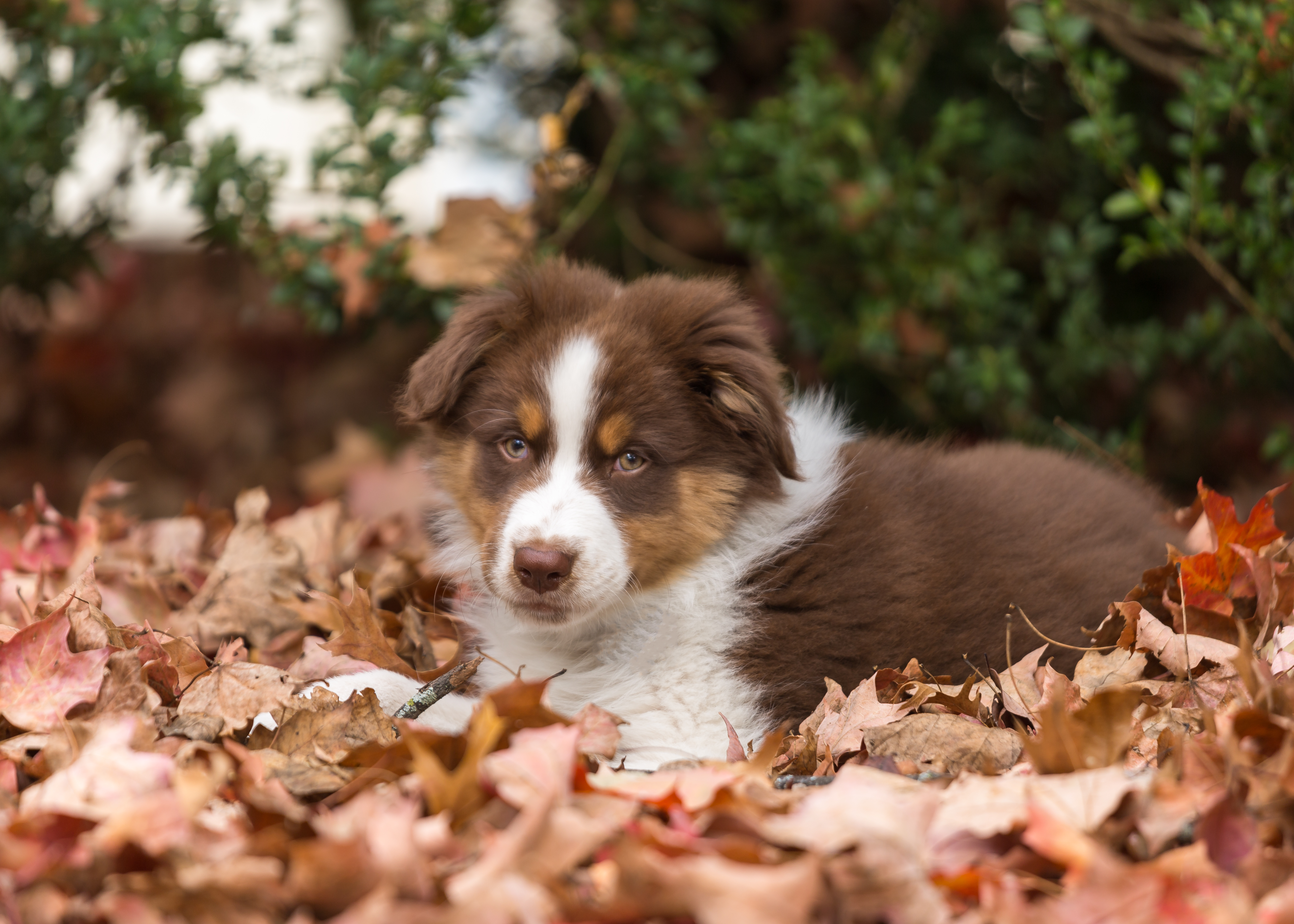 Australian Shepherd Puppies: Pictures And Facts - Dogtime